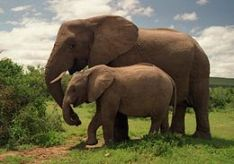 260px-Two_Elephants_in_Addo_Elephant_National_Park